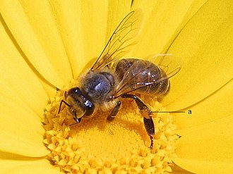 Apoidea - Apis mellifera, the western honeybee