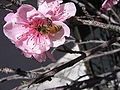 Bee on Peach Blossom.jpg