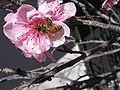 Bee on Peach Blossom.jpg