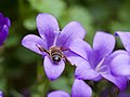 Bee on purple flower (14374406911).jpg