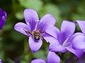 Bee on purple flower (14374406911).jpg