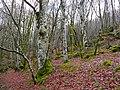 Beech Forest where Ground Beetles hibernate in dead wood or under moss (8329066621).jpg