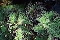 Begonia (27).jpg