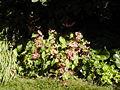 Begonia grandis 001.JPG