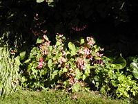 Begonia grandis 001