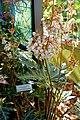 Begonia heracleifolia - Marie Selby Botanical Gardens - Sarasota, Florida - DSC01051.jpg