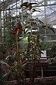 Begonia stipulacea GotBot 2015 002.jpg