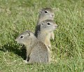 Belding's Ground Squirrels DSC0977vv.jpg
