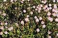 Bellendena montana 2.jpg