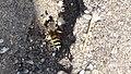 Bembix oculata, male (32840809330).jpg