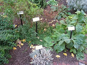 Medicinal plants - Wikipedia on daylily garden design plans, medicinal herbs chart, japanese garden design plans, flower garden design plans, butterfly garden design plans,
