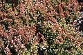 Berberis thunbergii Bagatelle 2zz.jpg