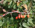 Berberis thunbergii fruits.JPG