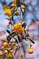 Berberis x stenophylla - fleurs-2.jpg
