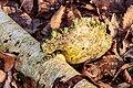 Berkenzwam (Piptoporus betulinus) (d.j.b.) 13.jpg