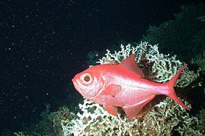 Alfonsino - Image: Beryx Decadactylus