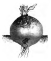 Betterave jaune globe Vilmorin-Andrieux 1883.png