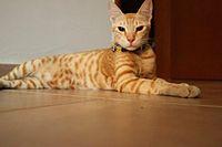 Bex Arabian Mau.jpg