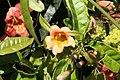Bignonia capreolata Tangerine Beauty 4zz.jpg