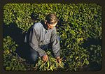 Bill Stagg turning up his beans 1a34111v.jpg