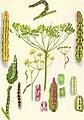 Biologie der Eupithecien (1910) (20621731670).jpg
