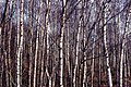 Birches in Buddon Wood - geograph.org.uk - 701506.jpg