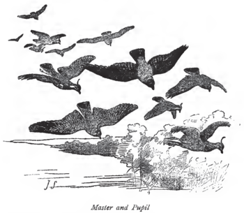English: Illustration of Northern Lapwings fro...