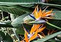 Bird of paradise flower (60516).jpg