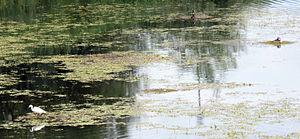 Lake Kerkini - Wild birds in Lake Kerkini