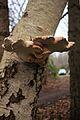 Birkenporling (Piptoporus betulinus) (01) (31771715756).jpg