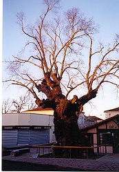 The Biscarrosse Elm in January; died 2010.
