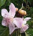 Bixa orelana flowers.jpg