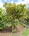Bixa orellana - Mounts Botanical Garden - Palm Beach County, Florida - DSC03695.jpg