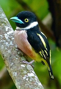 Black-and-yellow Broadbill (Eurylaimus ochromalus) (8071120621) (cropped).jpg