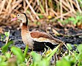 Black-bellied Whistling-Duck, Dendrocygna autumnalis - Flickr - Lip Kee.jpg