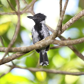 Black-crested Antshrike male.jpg