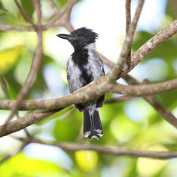File:Black-crested Antshrike male.jpg