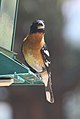 Black-headed grosbeak front.jpg