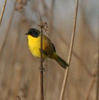 Black-polled Yellowthroat - cropped