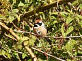 Black-throated Tit (Aegithalos concinnus) 2.jpg