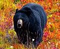 Black Bear -- Lake Louise Gondola Terminus Alberta (Canada) September 2019 (50069712728).jpg