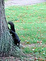 Black Squirrel in Butts Close, Hitchin - geograph.org.uk - 989806.jpg