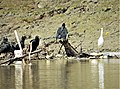 Black Vultures and Egret ...feasting (42930846092).jpg