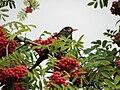 Blackbird, Bystrc 30.JPG