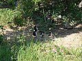 Blacksmith plover (393953676).jpg