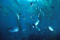 Blacksmithfish 300