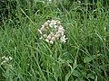 Bladder Campion - Silene vulgaris - geograph.org.uk - 1165549.jpg
