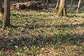 Bledule jarní v PR Králova zahrada 28.jpg