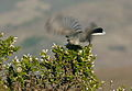 Blue-Gray Gnatcatcher with wings in motion.jpg