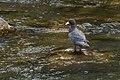 Blue Duck - New Zealand (38299754875).jpg